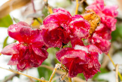 Frozen wild red roses. Royalty Free Stock Images