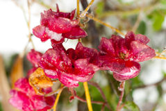Frozen wild red roses. Stock Photography