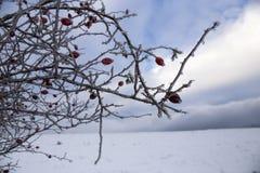 Frozen wild rose, Bieszczady Mountains Stock Photos