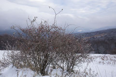 Frozen wild rose, Bieszczady Mountains Royalty Free Stock Photography