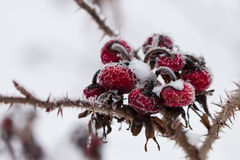 Frozen wild rose hips Royalty Free Stock Photos