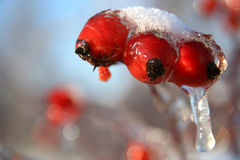 Frozen wild roses Royalty Free Stock Images