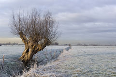 The frozen Willow. A cold agricutural field in holland with sheep and a willow tree royalty free stock image