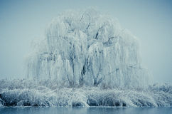 Frozen willow Stock Photography