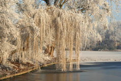Frozen Willow. Frozen weeping willow in the park Royalty Free Stock Image