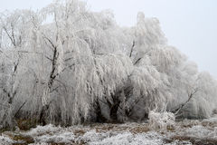 Frozen willow Royalty Free Stock Photo