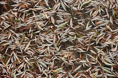 Frozen willow leaves on ice Royalty Free Stock Photo