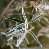 Frozen willow leaves. Natural autumn or winter Royalty Free Stock Image