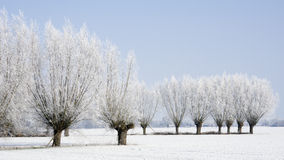 Frozen willow trees Stock Image
