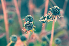 Frozen Wilted Black Eyed Susan - Vintage, Faded Royalty Free Stock Images