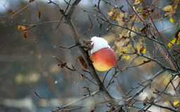 Frozen winter apple on tree. Frozen winter apple on a tree in snow and wind stock photo