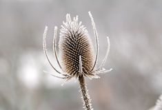 Frozen winter flower Royalty Free Stock Photography