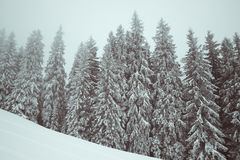 Frozen winter forest in fog and snow slope for freeride at winte. R. Carpathian Mountains, Ukraine. Toned landscape Stock Image