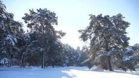 Frozen winter forest with lifestyle snow covered trees. slow motion video. winter pine forest in the snow sunlight stock footage