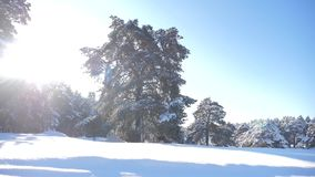 Frozen winter forest with snow covered trees lifestyle. Slow motion video. Winter pine forest in the snow sunlight stock video footage