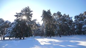 Frozen winter forest with snow covered trees. slow motion video. winter pine forest in the snow sunlight movement stock video footage