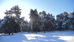 Frozen winter forest with snow covered trees. Slow motion video. Winter pine forest in the snow sunlight movement stock footage