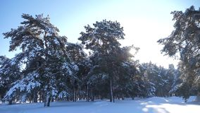 Frozen winter forest with snow covered trees. slow motion video. winter pine forest in the snow sunlight lifestyle stock video