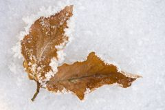 Frozen winter leaves Royalty Free Stock Photos