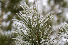 Frozen winter pine branches. Winter frosty pine branch covered with snow Royalty Free Stock Images