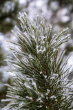 Frozen winter pine branches. Winter frosty pine branch covered with snow Stock Photos