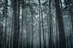 Frozen winter pine forest Stock Photo