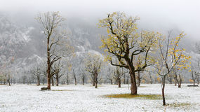 Frozen world~ Snow covered maple trees standing on the meadow. By the mountainside in a foggy gloomy morning ~ Beautiful maple trees and the first snow in deep stock photo