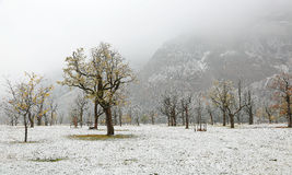 Frozen world~ Snow covered maple trees standing on the meadow. By the mountainside in a foggy gloomy morning ~ Beautiful maple trees and the first snow in deep stock images