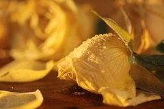 Frozen yellow roses Stock Image