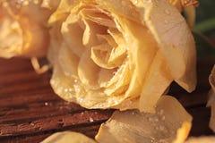 Frozen yellow roses Royalty Free Stock Photo