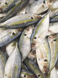 Frozen Yellow stripe scad fish. For cooking stock photo