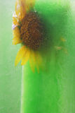 Frozen yellow sunflower Stock Image
