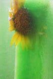 Frozen yellow sunflower Stock Image