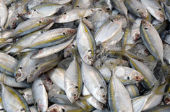 Frozen yellowstripe scad fish. The yellowstripe scad, Selaroides leptolepis, (also known as the yellowstripe trevally, yellow-banded trevally, smooth-tailed Royalty Free Stock Photo