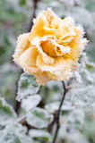 Frozen yelow rose Royalty Free Stock Image