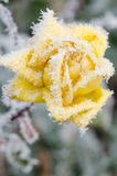 Frozen yelow rose Royalty Free Stock Photography