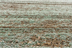Frozen young wheat crops in agricultural field covered with fros. T in early winter morning Royalty Free Stock Images