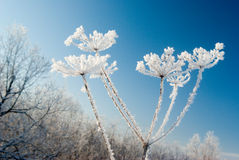 Frozenned flower on background blue sky Royalty Free Stock Photos