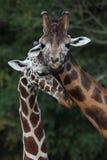 Försiktig kurtis av två giraff Fotografering för Bildbyråer