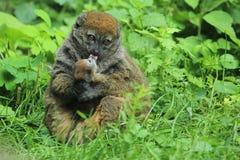 försiktig lemur för alaotran Arkivfoton