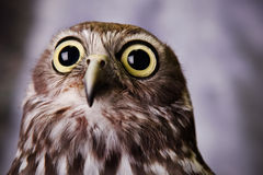 Förskräckt seende owl. Royaltyfri Bild