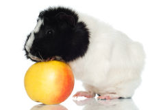 Försökskanin med ett äpple Arkivbild