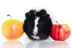 Försökskanin med äpplen Fotografering för Bildbyråer