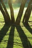 Försommarmorgongryning, soluppgång skuggade bakbelyst parkerar träd, ljus Parklandgräsmatta, stor vertikal stamCloseup Arkivfoton