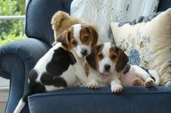 förtjusande beaglevalpar två Royaltyfri Foto