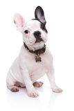 Förtjusande valpsammanträde för fransk bulldogg Arkivbild