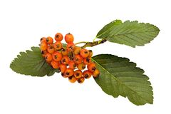 Frucht-Common Whitebeam Lizenzfreie Stockfotos
