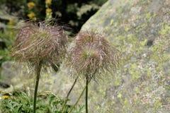 Frucht der alpinen Anemone Stockfotos