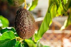 Frucht der Avocado auf dem Baum Lizenzfreies Stockfoto