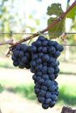 Frucht der blauen Traube Stockbilder